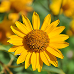 ingredient-arnica.jpg