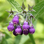 ingredient-comfrey.jpg