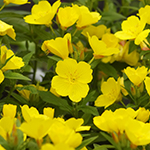 ingredient-eveningprimrose.jpg