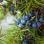 ingredient-juniper.jpg