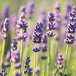 ingredient-lavender.jpg
