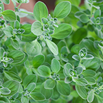 ingredient-marjoram.jpg