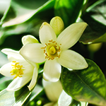 ingredient-neroli.jpg