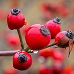 ingredient-rosehip.jpg