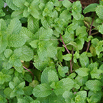 ingredient-wildmint.jpg