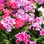 ingredient-geranium.jpg