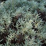 ingredient-helichrysum.jpg