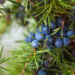 ingredient-juniper.jpg