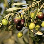 ingredient-oliveoil.jpg